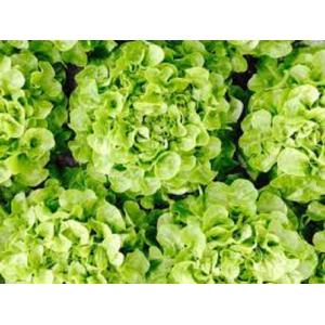 Salad feuille de chêne, the...