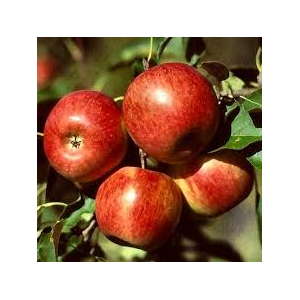 pippin apple queen per kg